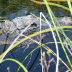 Florida Man April 17 – Gator Wrestling Gone Bad